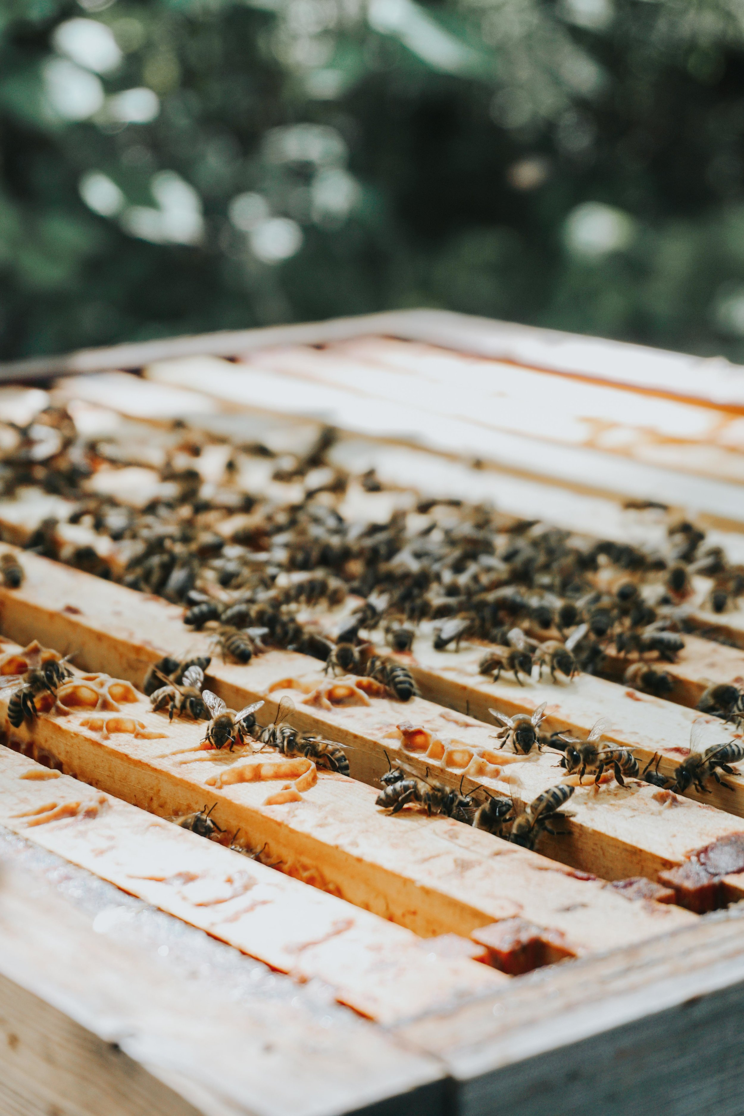 Nordic Honey_Organic Honey_Organic beekeeping_Beekeepers_Bees collecting nectar_Pure Raw Honey_Beehives_Honeycomb
