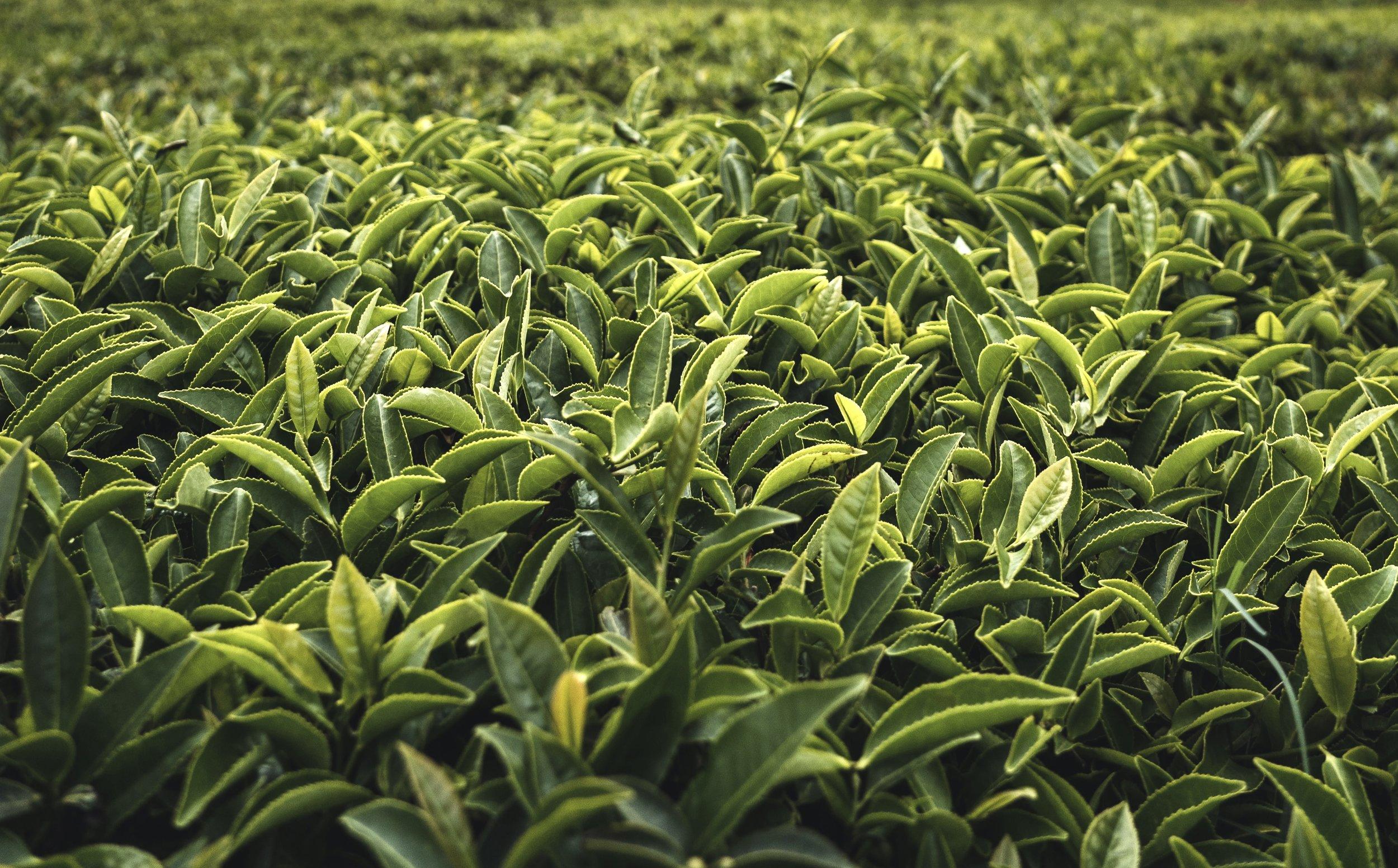 Nordic Honey_Health Benefits of Green tea__tea_plantation_tea_leaves_Green Tea with Peppermint & Strawberries_jar with cork