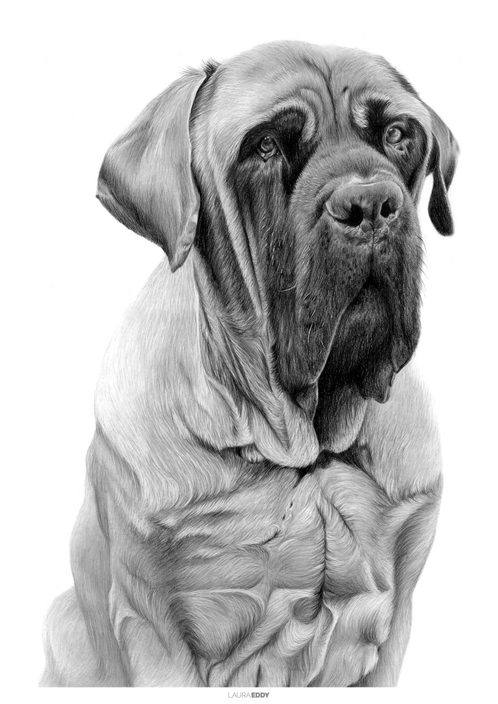 laura-eddy-drawing-george-english-mastiff-branded.jpg