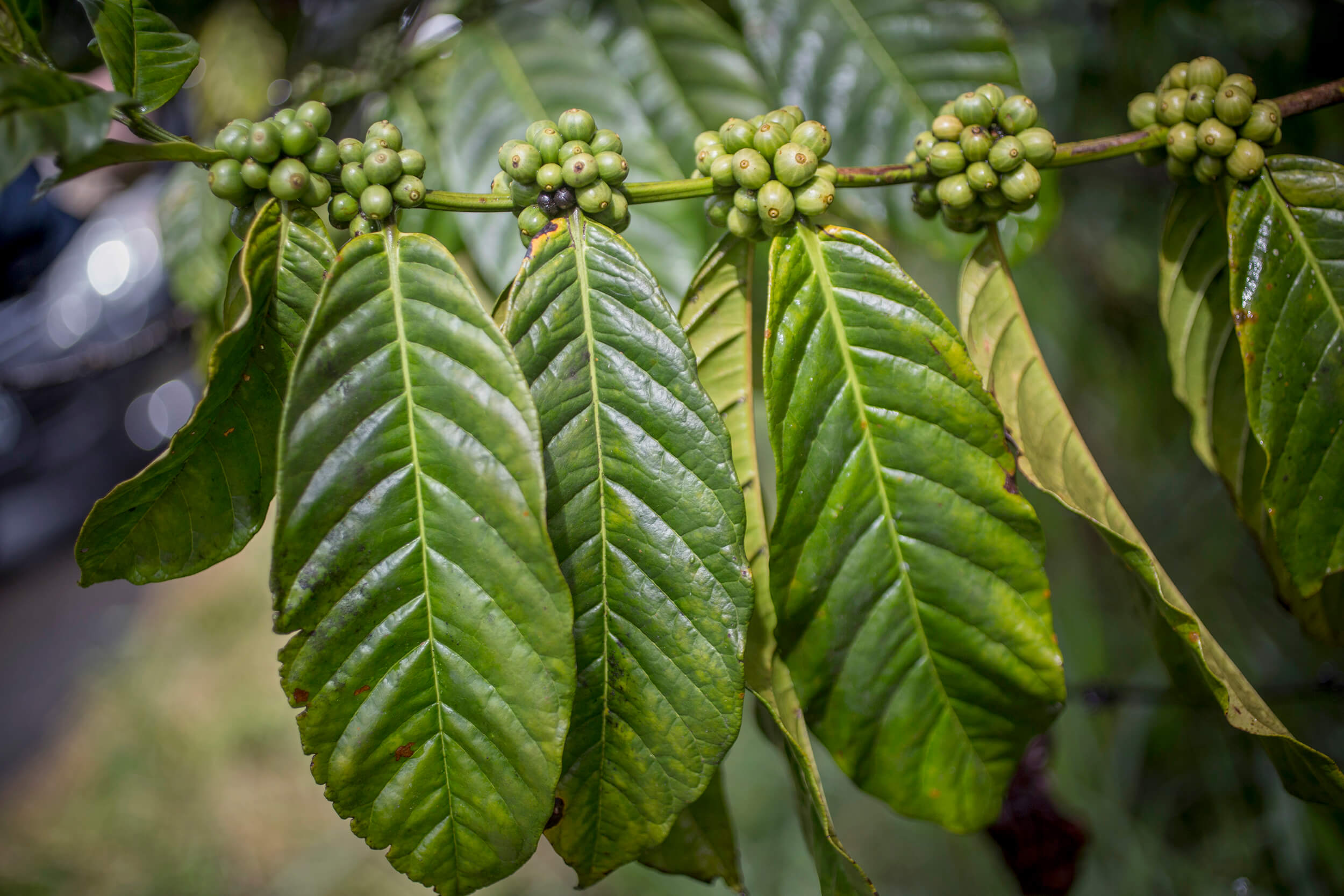 Coffee of the Robusta variety