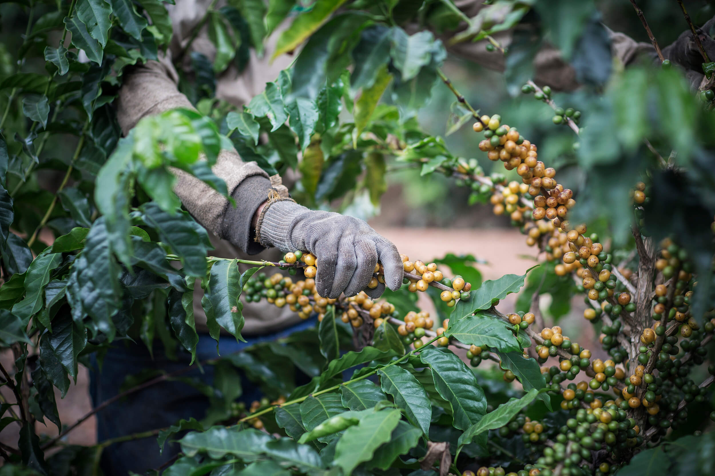 Coffee harvested in Brazil with the milking method, where you stripping all coffee, matured or not, from the branch.