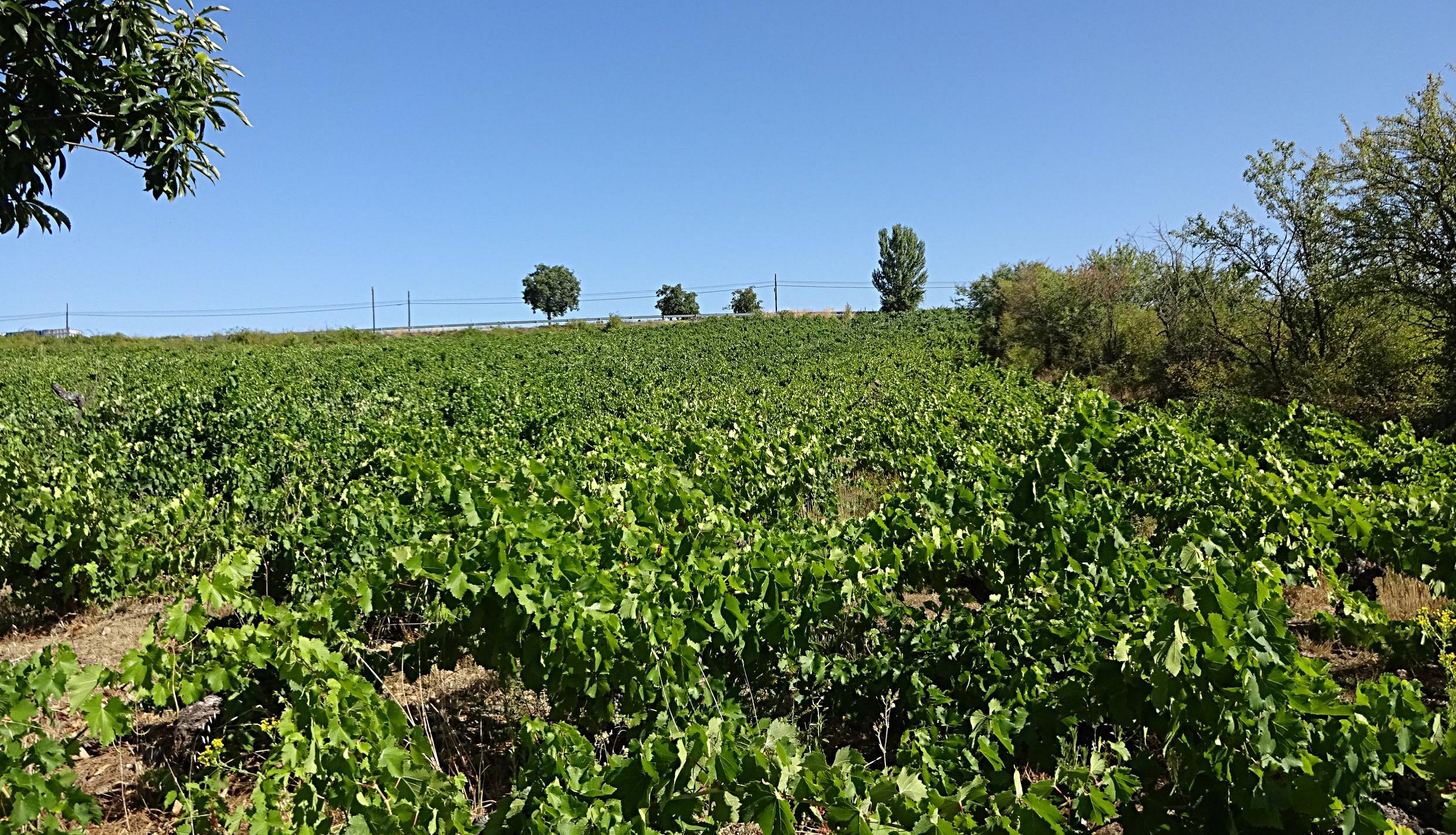 Field of 120+ yr old Mencía vines (Bierzo)