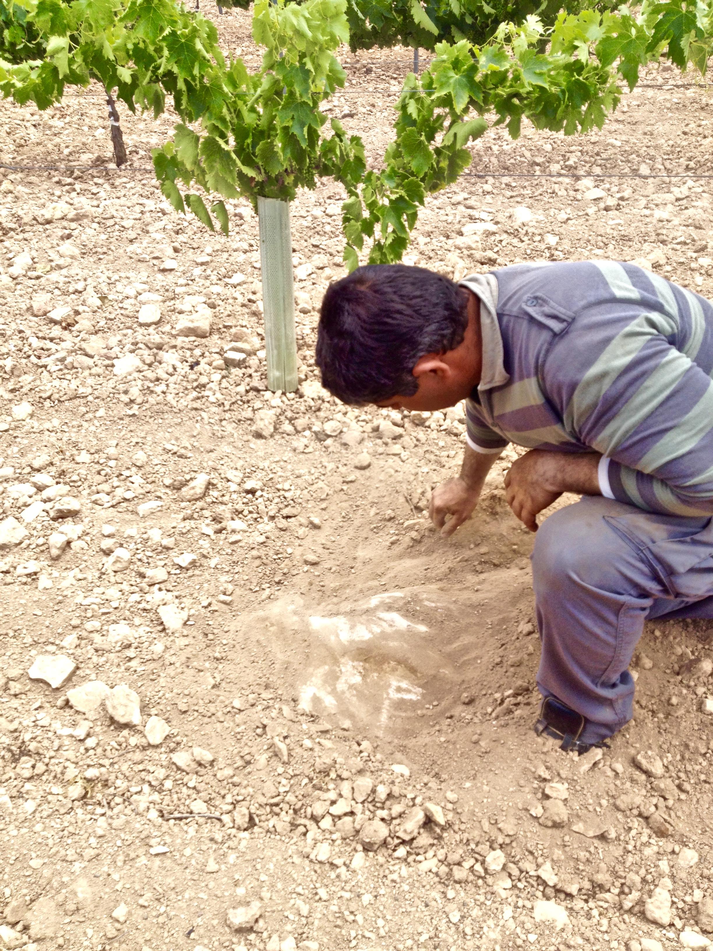 La Motilla vineyard. Exposed mother rock ( limestone) .