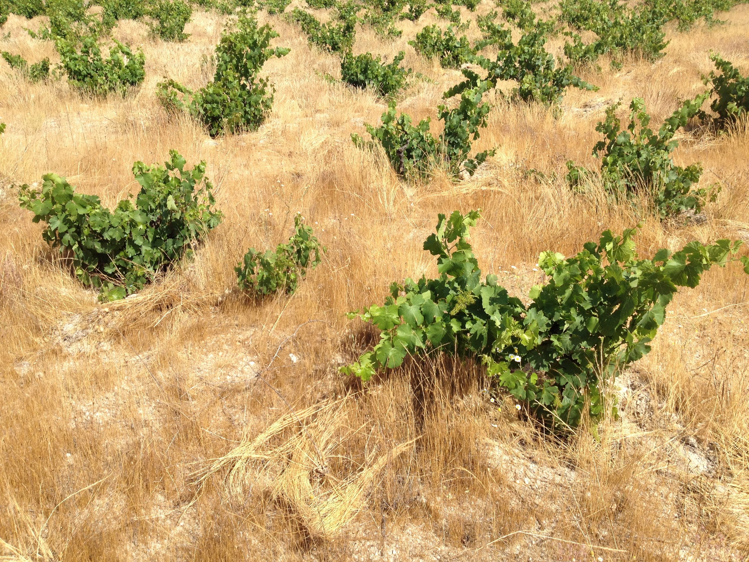 130+ year old, own-rooted Verdejo vines!