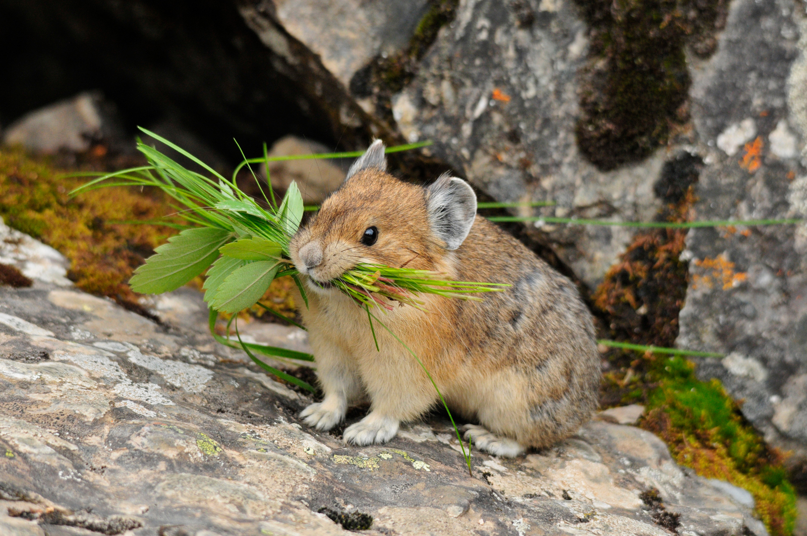 Pika | Habitat is over 11,000 Feet | Survive in temperatures less than 70 °F