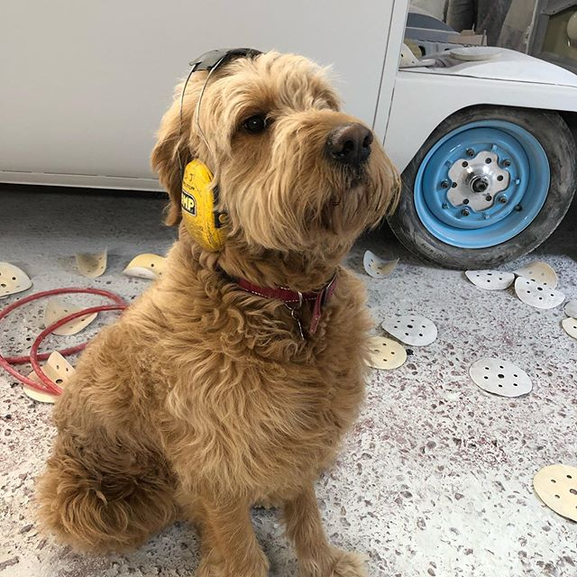 Had the HSE inspector in today #ccr #ccruk #goldendoodle #goldendoodlesofinstagram #restoration #metalwork #healthandsafety #sillypooch #omp #peltor #vw #baywindow #vwbay #widefive #vwmafia