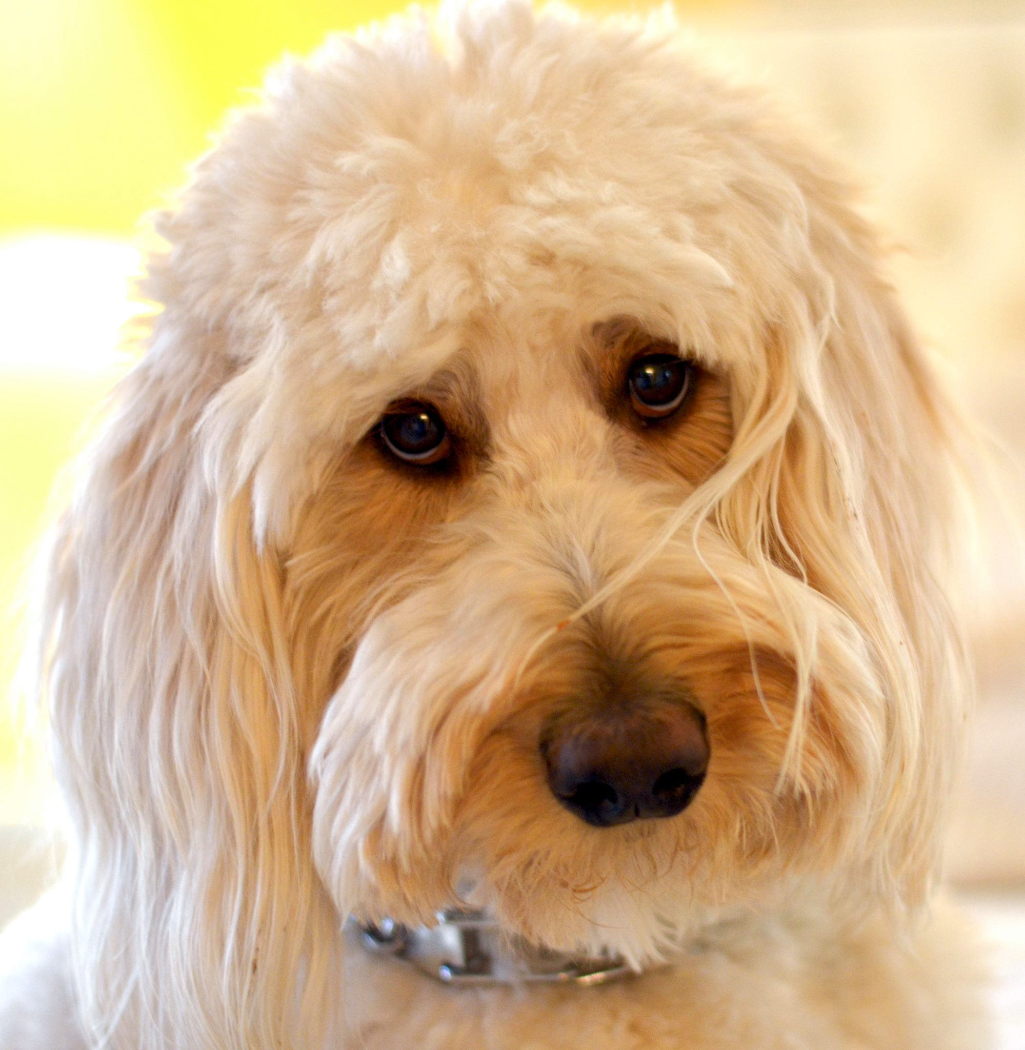This is a F1B Labradoodle, Bella that came from Dominator Dogs.