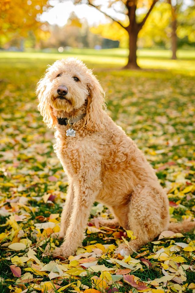 This is Lucy, another Labradoodle puppy that came from Chris and Dominator Dogs.
