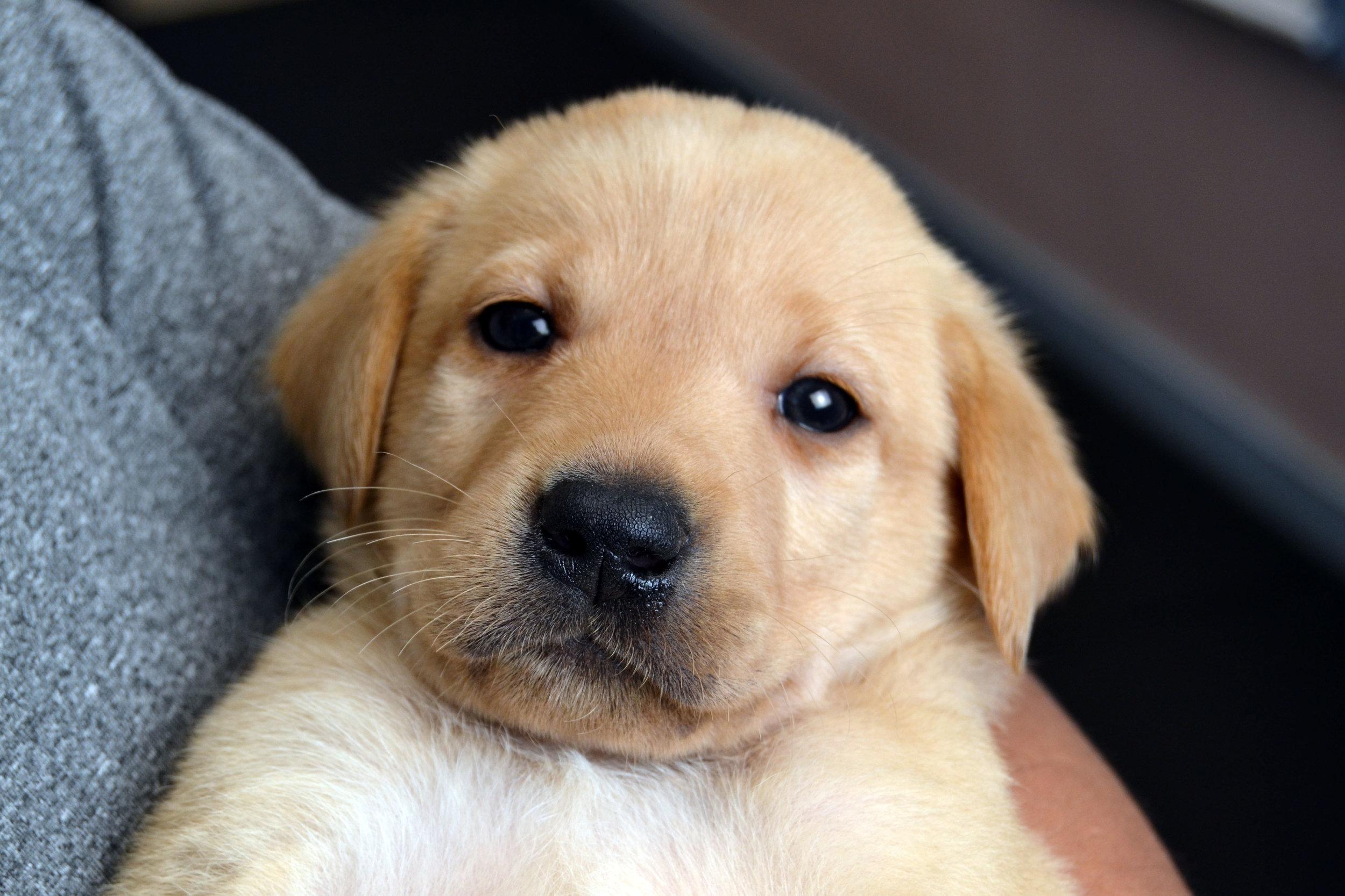 Yellow Lab Pup Charm.jpg