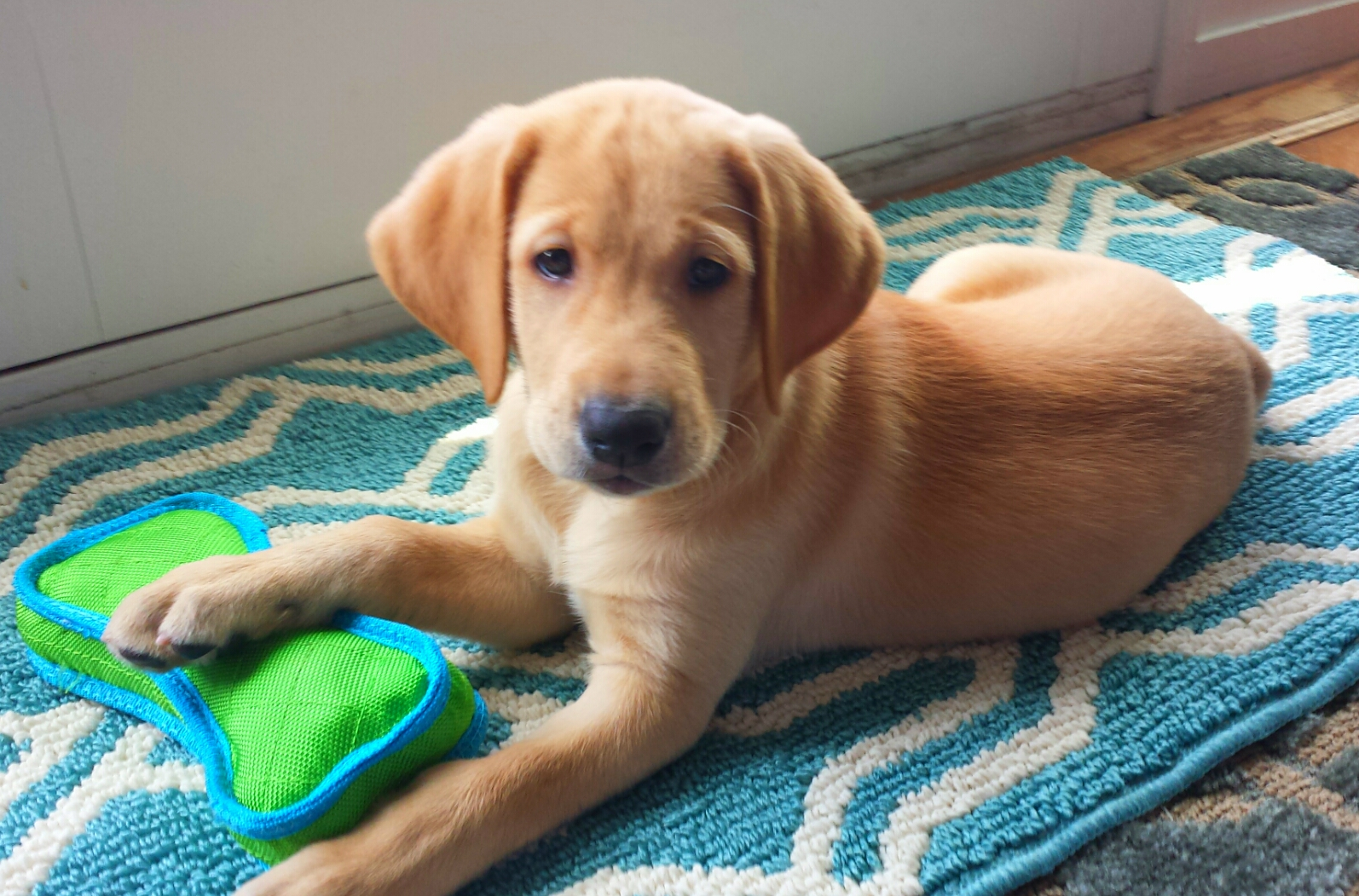 Another picture of the Yellow Labrador Retriever, Argos that came from Dominator Dogs.