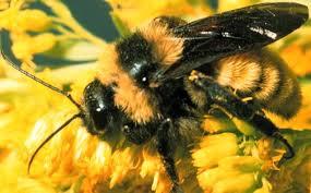 Texas Bumblebee.jpg