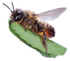 Leafcutter Bee.jpg