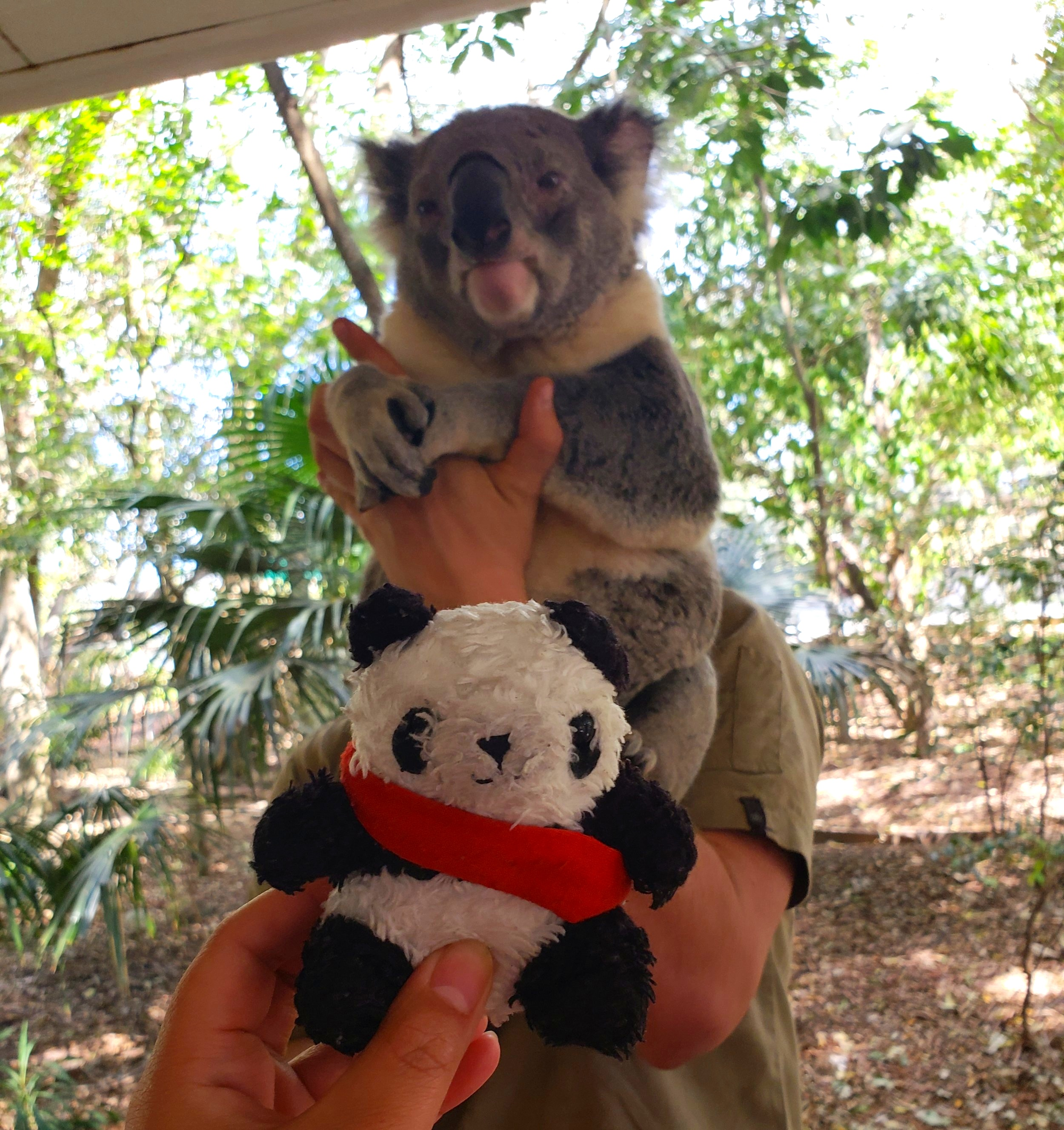panda meets koala