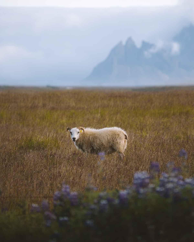 iceland-sheep-stokksnes-hofn-hornafjordur-mountains-lupine-icelandic-summer-jubbish-jay-toups.jpg