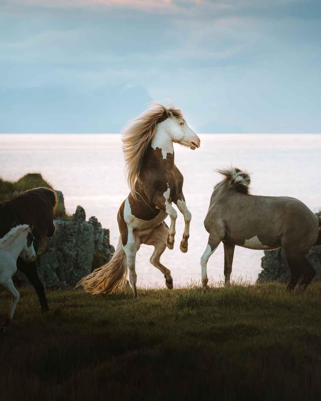 horse-horses-stallion-iceland-icelandic-sunset-rearing-heat-summer-viking-nordic-jubbish-jay-toups.jpg