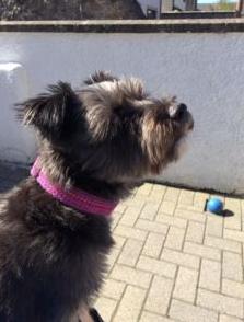 dog wearing pink harris tweed buckle.png