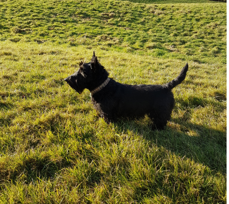 Tartan tweed scottie dog photo.png