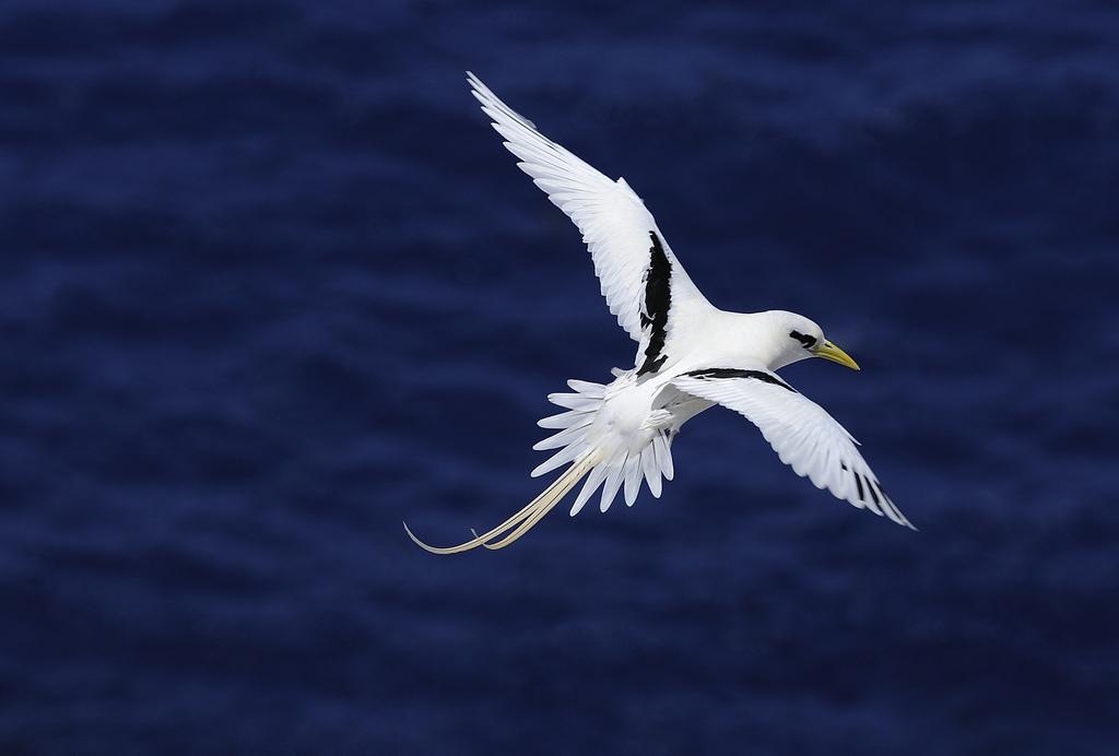 A Boatswain Bird