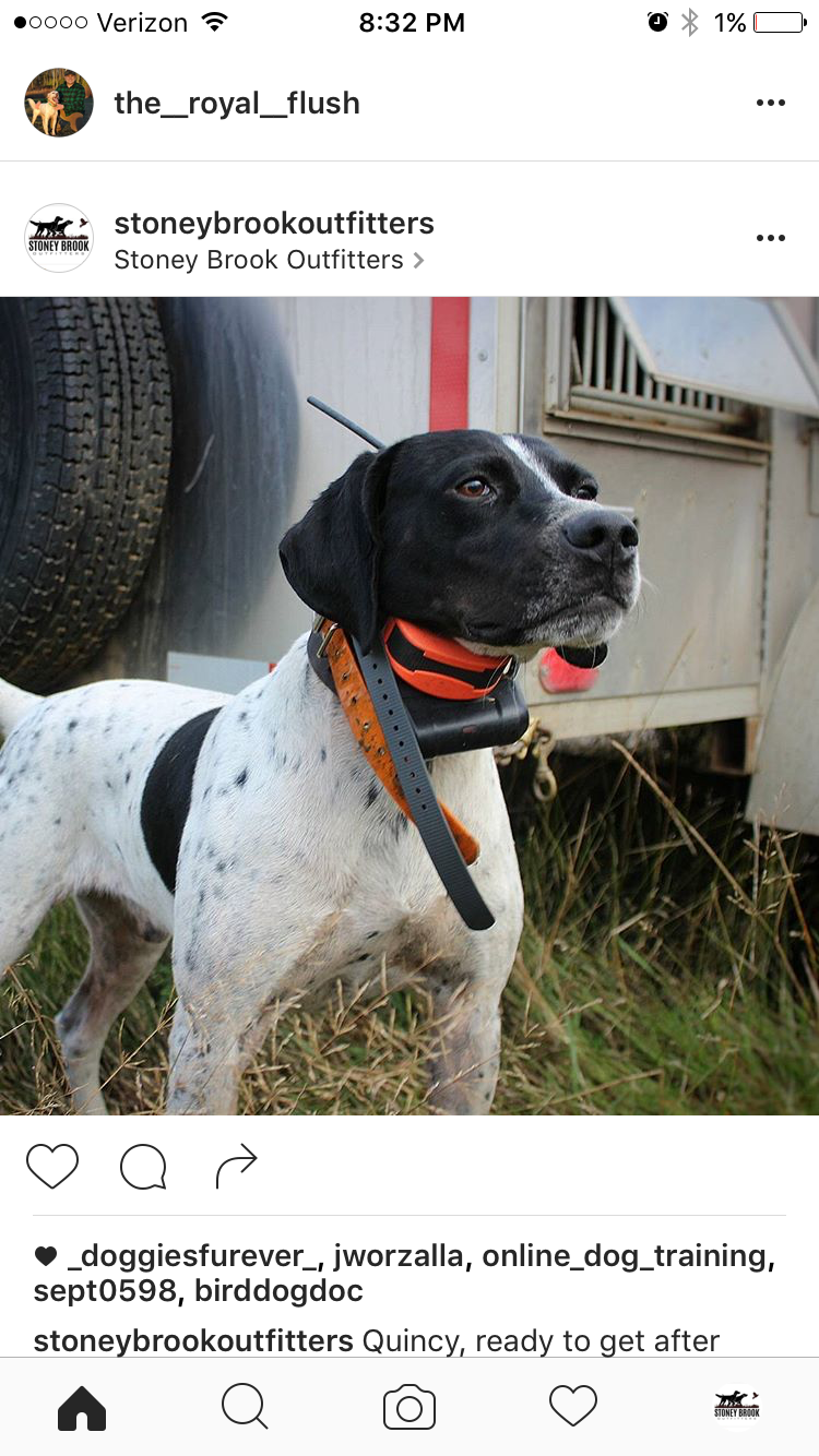 Stoney Brook's Mr. Magoo   Quincy is a five year old English Pointer that has really come into his own in the fields. He runs the fields with enthusiasm and enjoys his work. When he isn't hunting, he is our resident goofball (and he likes that job too).