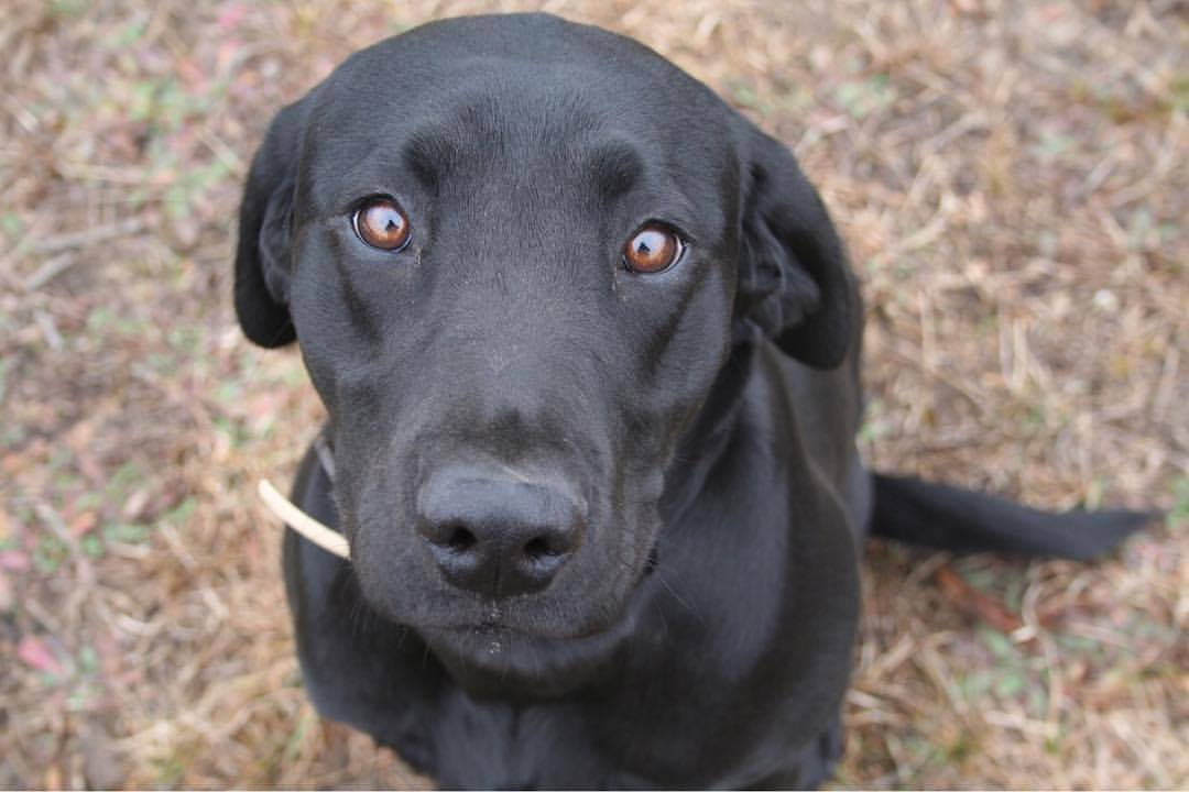 Engle Creek's Jetta Anne   Jetta is a two year old Black Lab who's original purpose in life was to be a duck dog. That is until she met the woods and Grouse hunting. She is a smaller girl and has a very sweet temperament. She works excellently in both the prairies and the woods.