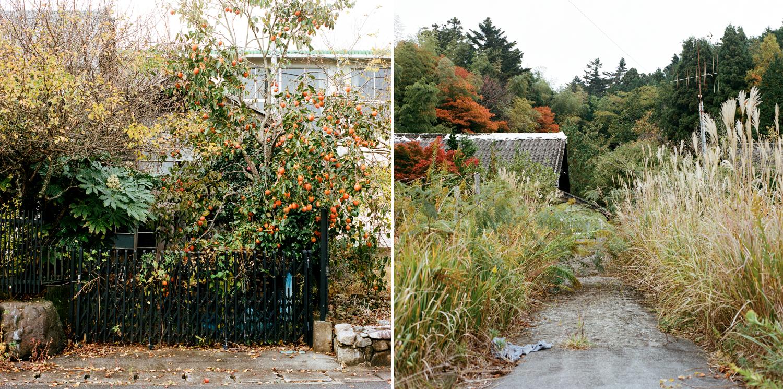 La nature reprend ses droits dans de nombreux endroits de la ville. Les kakis, fruits pour lesquels la prefecture de Fukushima était renommée, sont très présents dans le village. Ils recouvrent cet arbre à gauche.