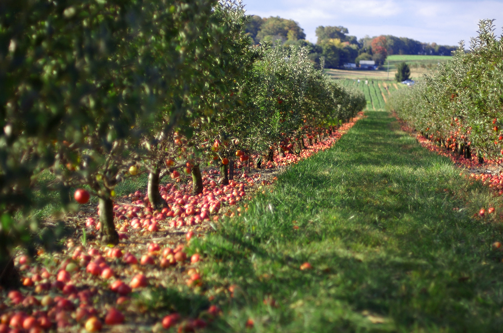 The apple orchards of Larriland Farm Visit in the fall to pick your own.
