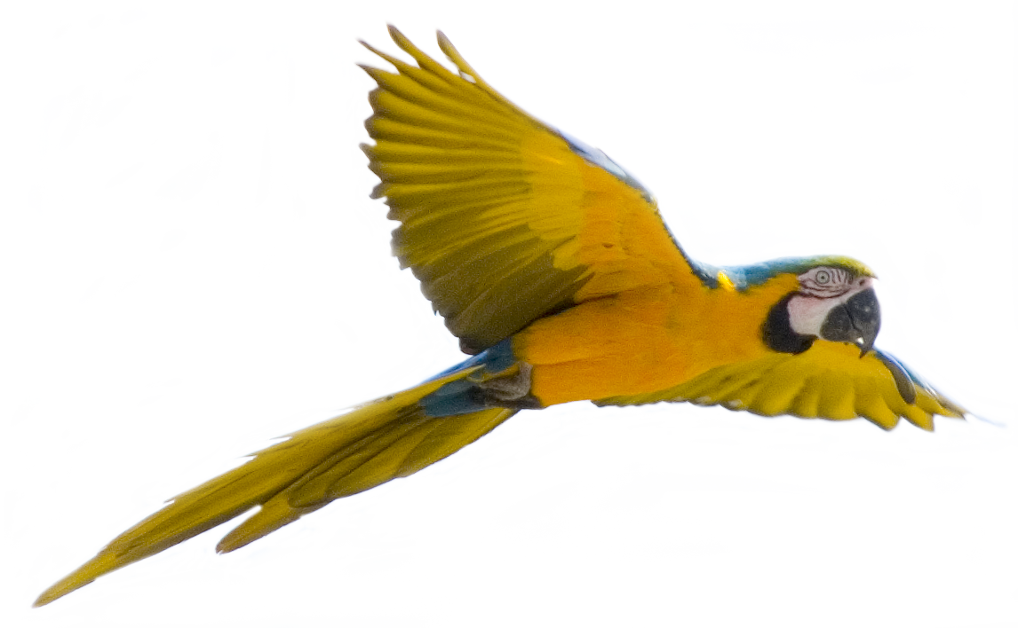 parrot-png-1.png