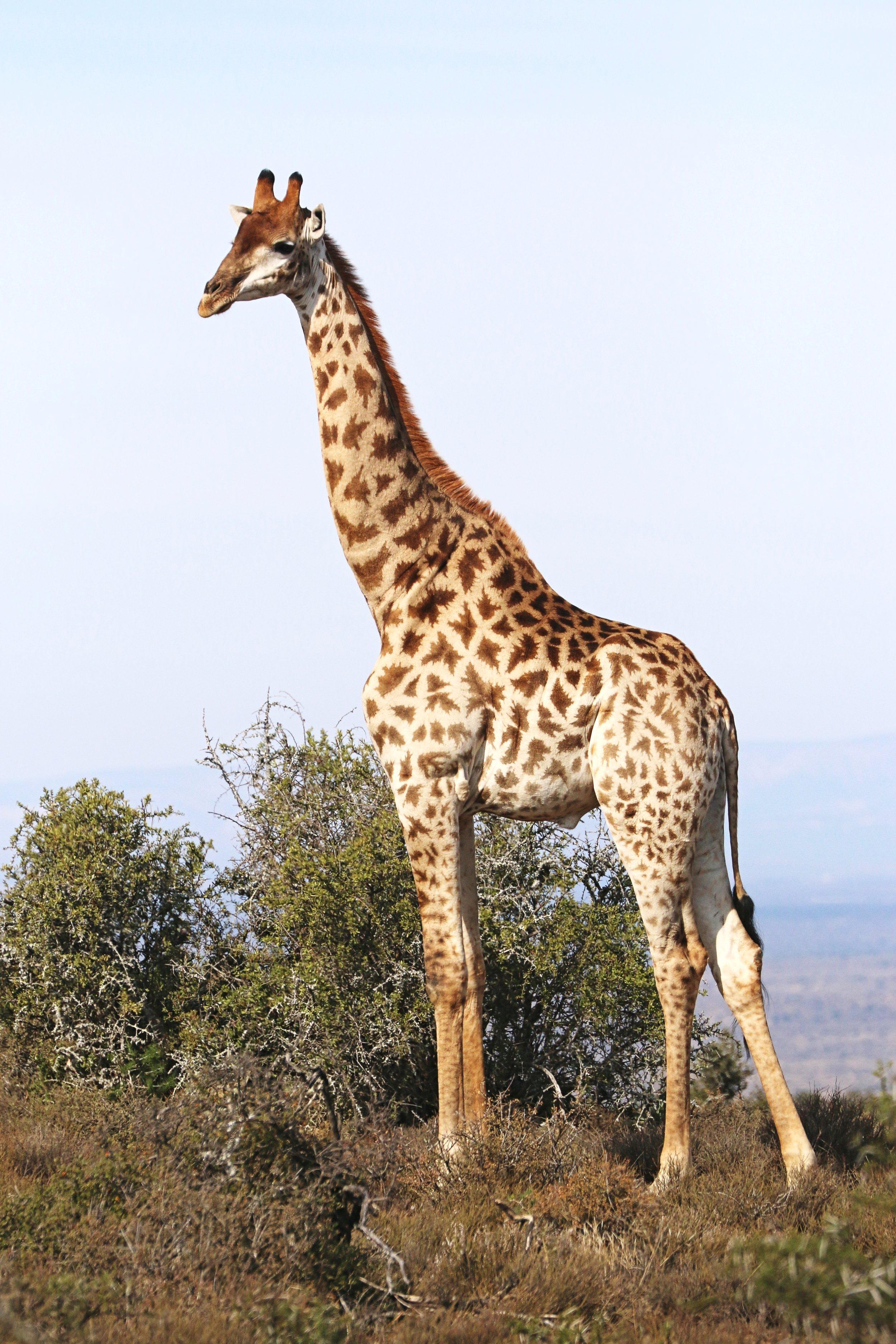 Giraffe tall.JPG