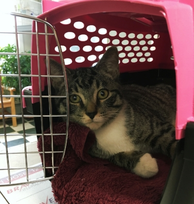 Me looking very handsome in another kitty's carrier, showcasing how comfy they can be.