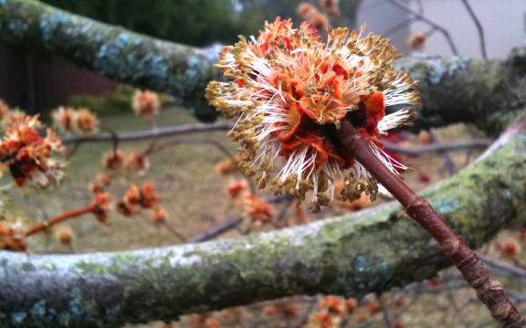 The beautiful flower of a Red Maple (Acer rubrum)