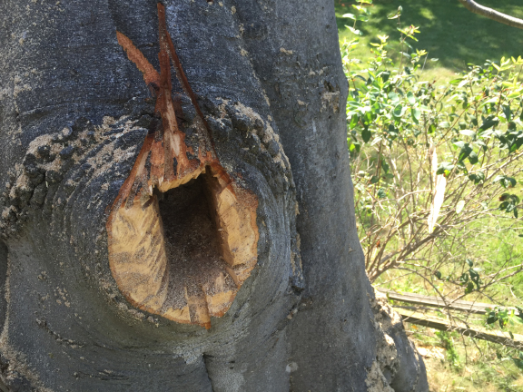 This cavity will make a great home for birds or bats! This entry led into an interior spot of decay.