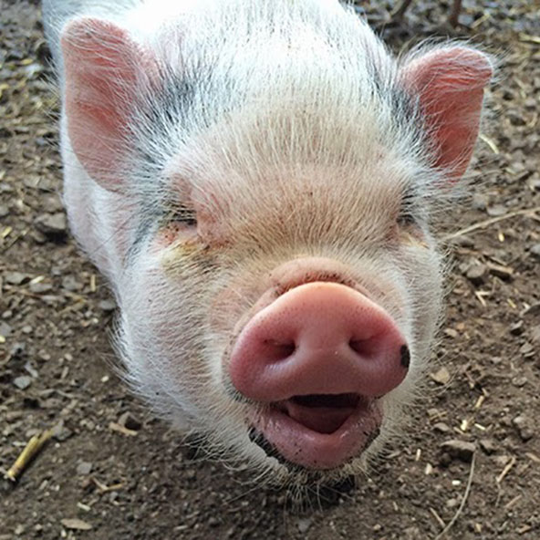 CORDELIA   One of Ophelia's piglets. She has a very nice smile but is a little shy. Unlike her sisters, she has a pure pink nose on top, with just that one little black spot on the side.    Cordelia loves to get down and dirty in the mud. She is the piglet who looks most like her mama.