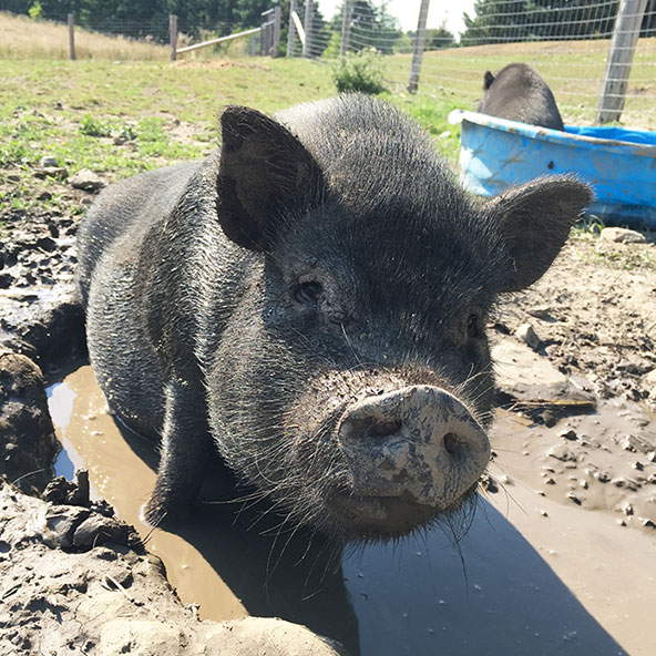 DAHLIA   Another of Ophelia's offspring. Small, sweet, no trouble at all. The antithesis of her sister Button. Enjoys hanging around in the mud with the other black pigs!