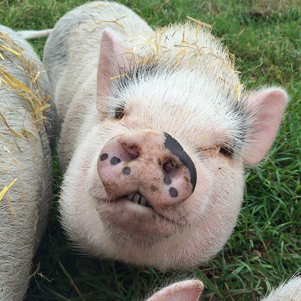 "OLIVIA   Another daughter of Ophelia. She has lovely black ""freckles"" and half of her snout is black on top. She has a gorgeous grin. Enjoys belly rubs and mud facials. She thinks apples are the best treat on earth."