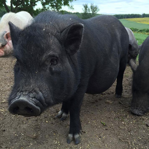 RUDY   The boss pig, no question. Rudy was seen running loose  in a ditch in Lancaster, Onatrio in February 2015. Some kind OPP officers noticed him and managed to catch him by throwing their coats over him! One officer put the pig in his squad car and phoned our OSPCA shelter in Cornwall to let the manager know he was bringing in a pig, but that the pig looked hungry, so he was stopping at Tim Hortons first to get him a cheese bagel... which he did!  Later we were told that Rudy had been on the run for several weeks, with numerous pig sightings, all this in the dead of winter. Talk about a survivor!  Rudy had to stay in foster care until spring, when we were finally able to take him in. It was bitterly cold that February, and Rudy suffered frostbite to his ears and tail. Sadly, the end of his tail dropped off soon after we got him, but it didn't take him long to establish himself as top pig in the herd, even with just half a tail! He loves belly rubs, but does not suffer fools gladly. He was born sometime in 2014.
