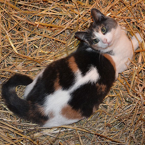 MISSY  Missy moved into our barn with her buddy Lionel in September 2014. They were both living in the barn of a local couple who were concerned that they could not provide sufficient warmth and shelter for the cats in winter. Sadly, lovely Lionel died two weeks after we got him, despite our vet's valiant efforts to save him (the vet thinks it was toxoplasmosis that killed him.) Missy, however, has done wonderfully well here. She is a darling petite cat who loves to be petted and will meow loudly for attention until she gets it! But forget picking her up; she wriggles like a fish on a hook if you try to hold her. Missy was born sometime in April 2011.