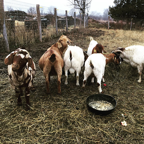 THE GOAT STARTER-PACK  On August 31, 2015 we adopted six goats in various states of pregnancy (two got pregnant here before the bucks were neutered... long story!) from the SD&G OSPCA. At the time we knew absolutely nothing about goats. Now we can't imagine life without them!