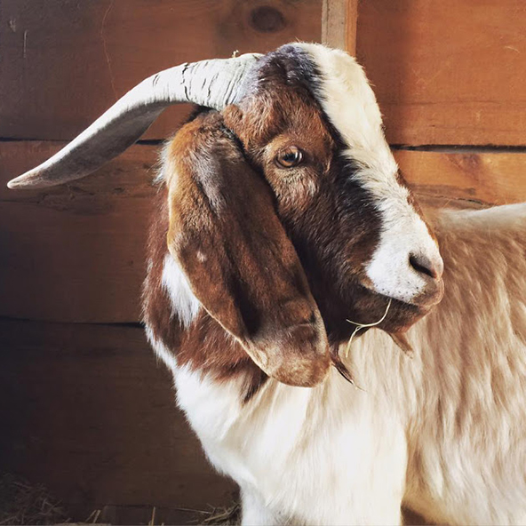 GEOFF  Geoff is another of the six goats we adopted in August, 2015. He is Kevin's younger, smaller sidekick, and he loses all the arguments! He has some really cute white spots on the back of his brown neck, and has a Buddha-like personality. He too lost his manhood in December 2015 to a scalpel-wielding man in a red-and-blue jumpsuit. (I'm looking at you, Dr. Smith!) Spay and neuter your pets, people.  Every time Geoff thinks he's about to score with a lady goat, Kevin pushes him away. Life is tough.   Geoff is named after my cousin, the son of my aforementioned Uncle Kevin.