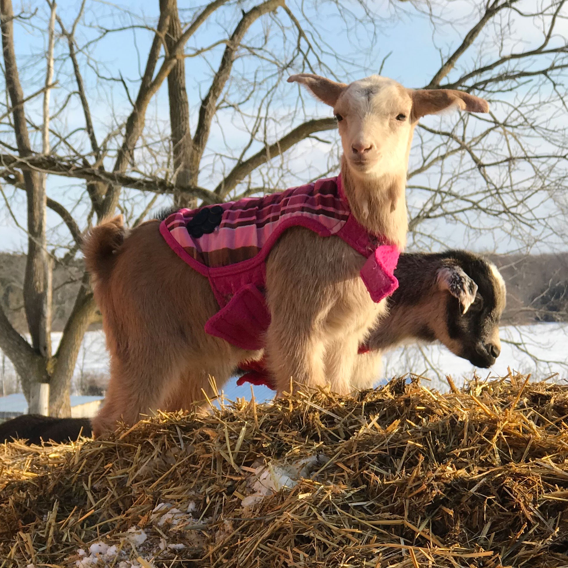 ELSA  Elsa and her sister Anna came along as excess baggage in Olive's tummy when we adopted three goats from Rimouski in December, 2017. On January 5, 2018, Elsa and her sister Anna surprised us by arriving a couple of months earlier than the vet had predicted. Because they were born in the frigid cold, the two kids take their names from the characters in the movie  Frozen . Elsa looks a lot like her beautiful Maa-Maa. Elsa is a polled goat, meaning she was born without horns (unlike her sister Anna!)