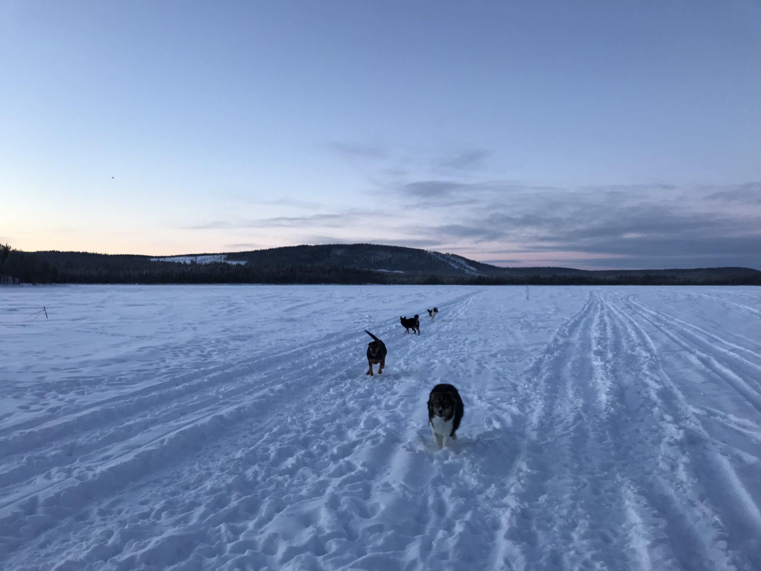 Med hundflocken på Skabramsjön häromveckan. Kalla, högljudda dagar med massa kaos, spring och lek.