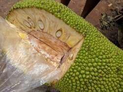 Cut jack fruit