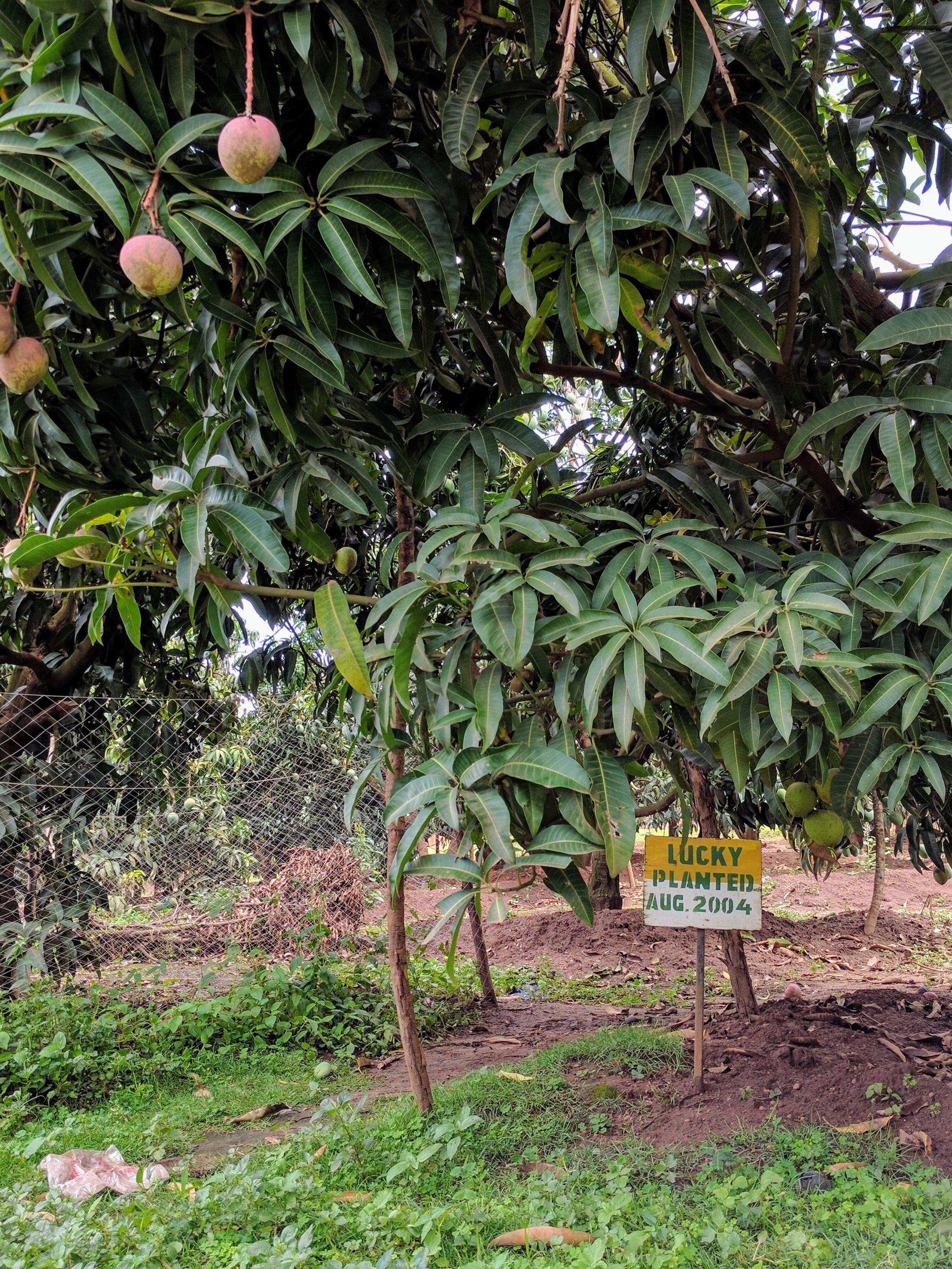 Farm_Mango Tree2.jpg