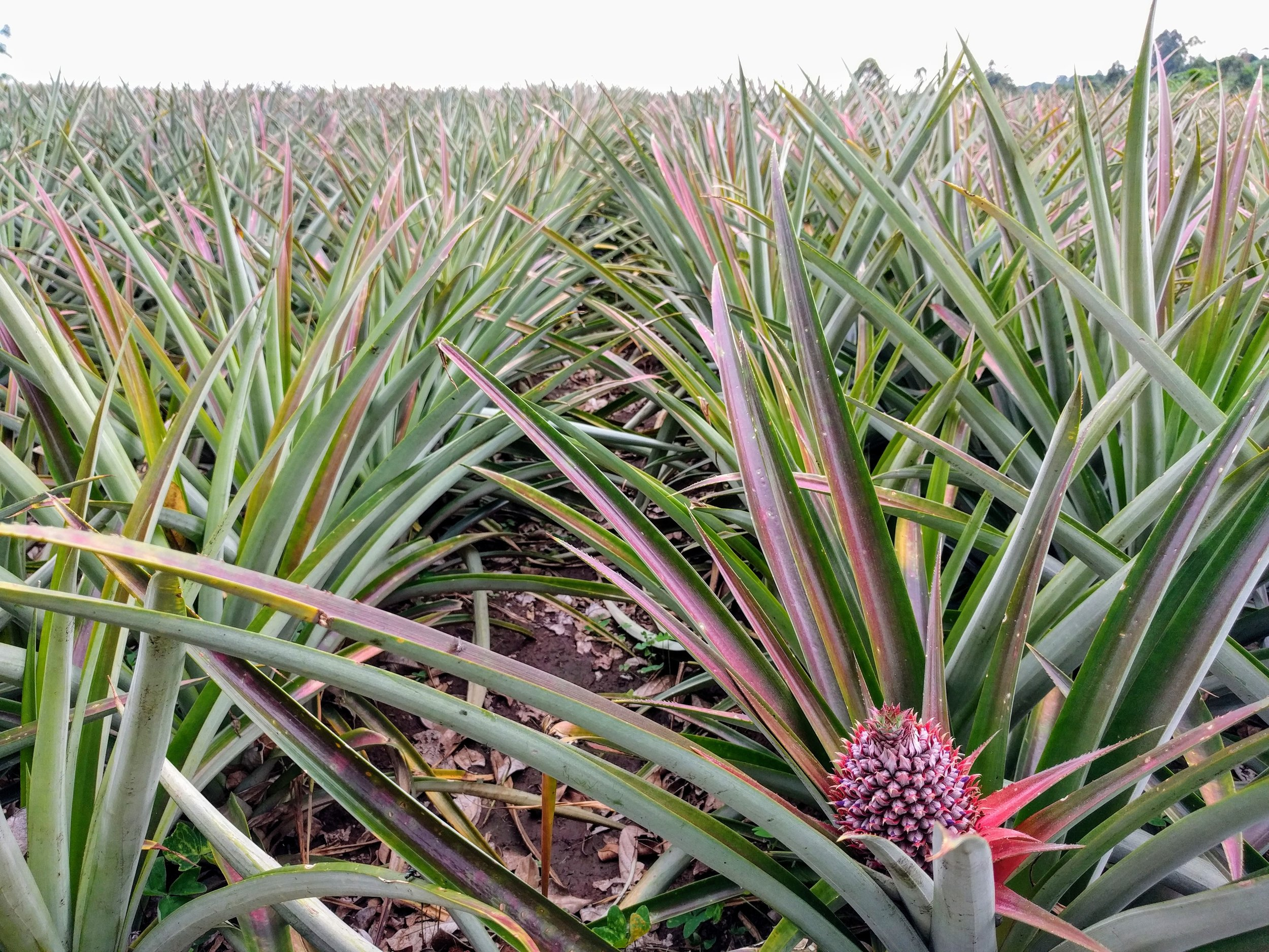 School Farm_Pineapple.jpg