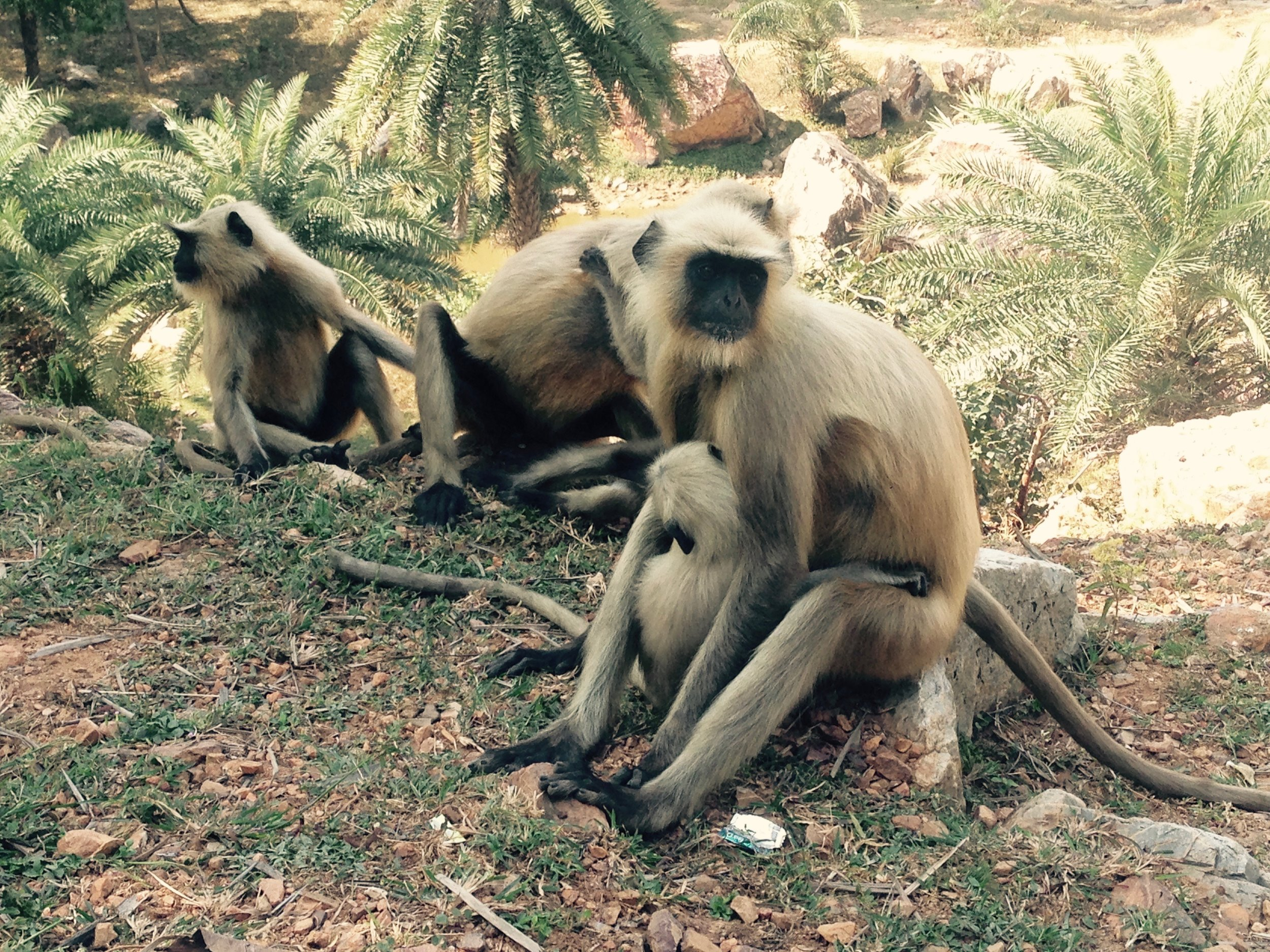 Langor monkeys chilling hillside by the cave -- so much tamer than the macaque breed from the Monkey Temple