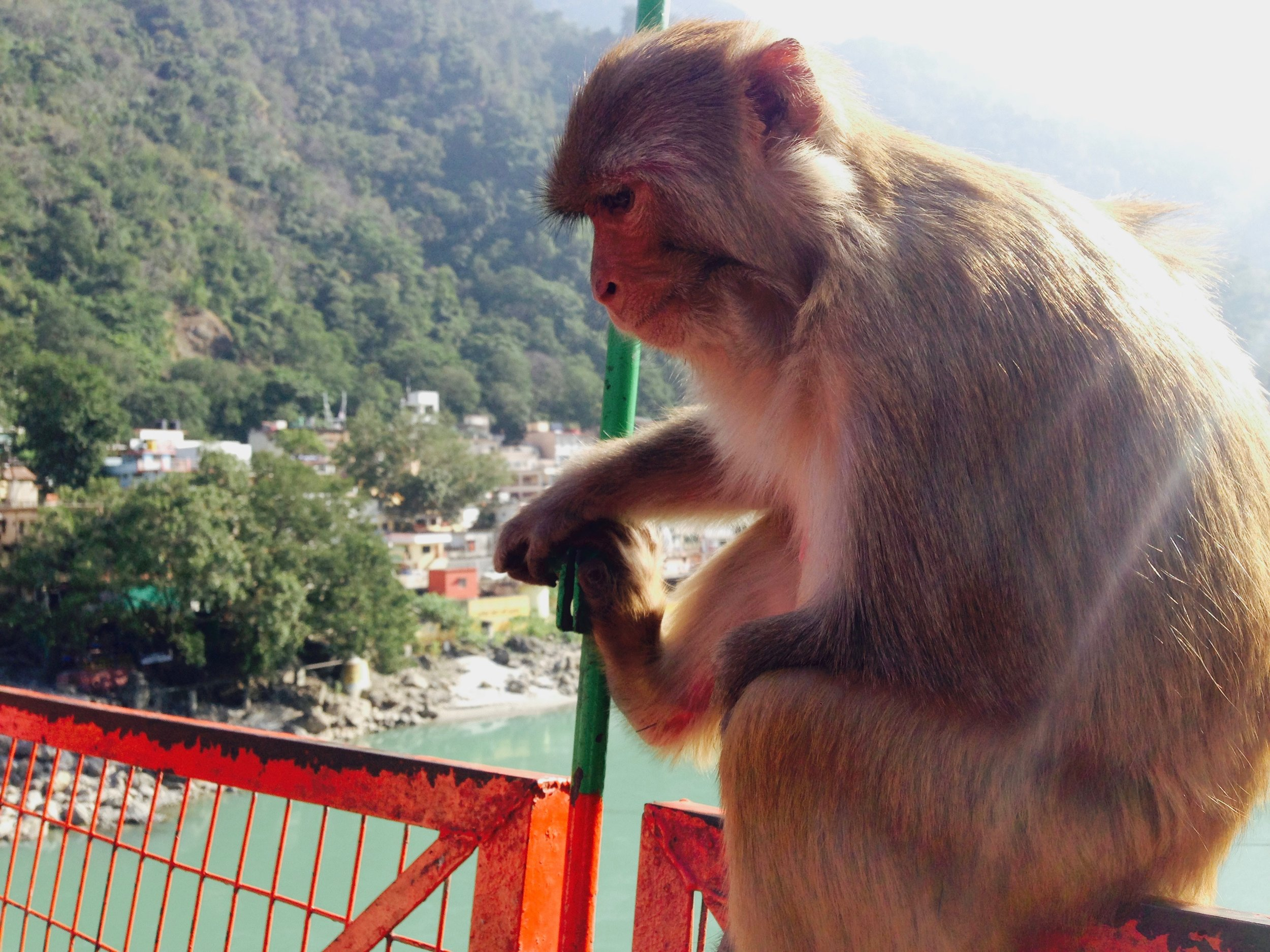 Monkey on a bridge -- maybe in deep thought, maybe not.