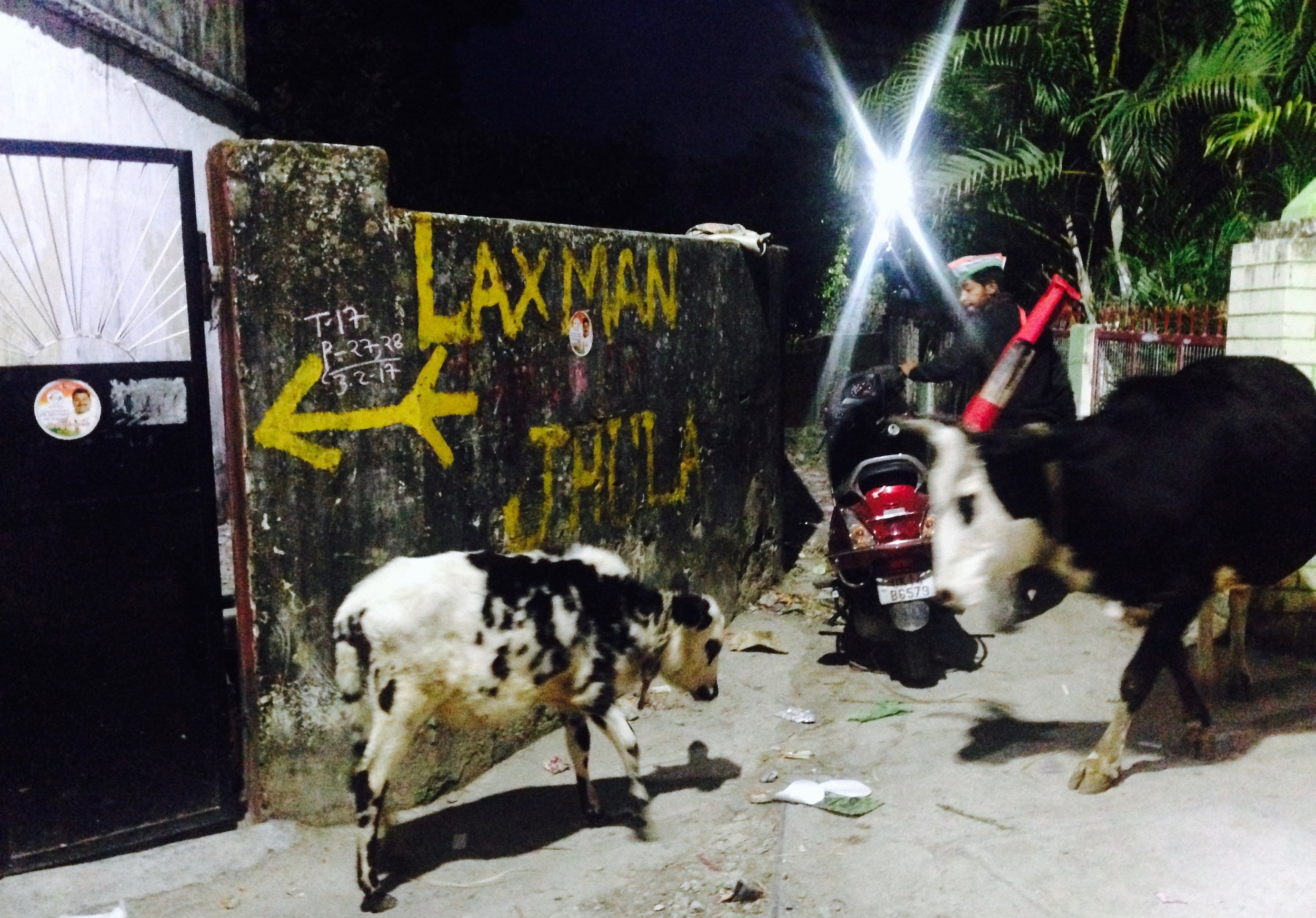 Baby cow and mama taking a nighttime stroll through one of my favorite paths in Tapovan