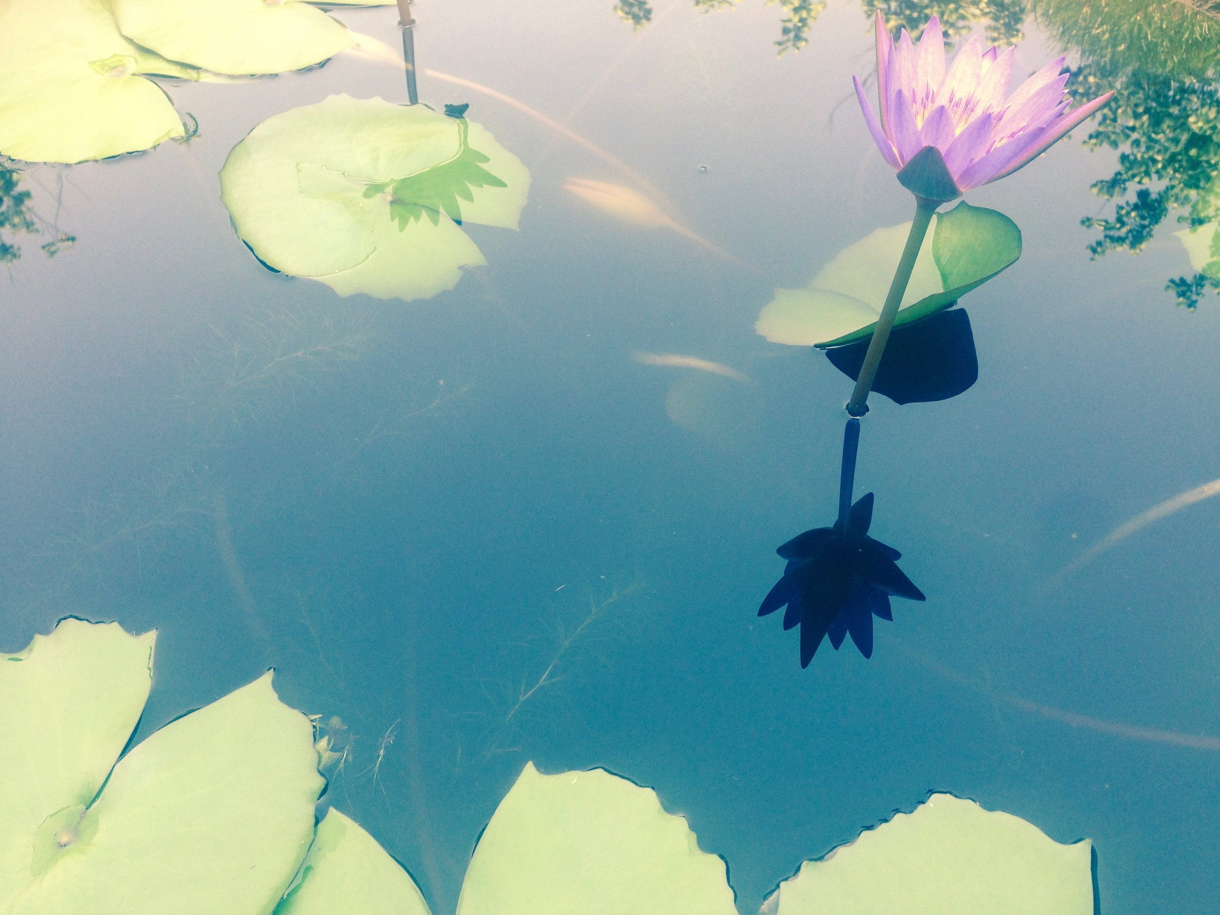 Lotus flower in bloom at what once was Thich Nhat Hanh's monastery