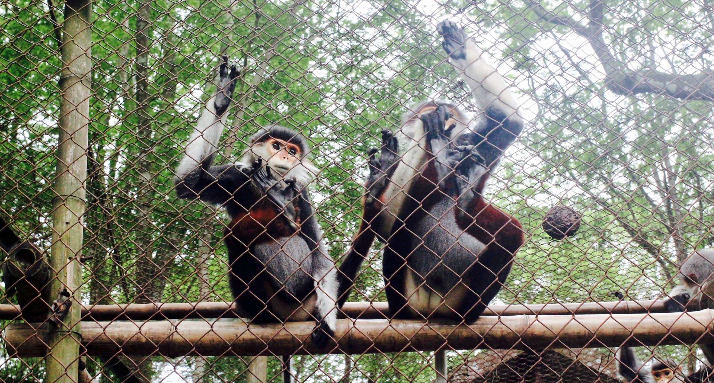 Langurs at the Primate Rescue Center