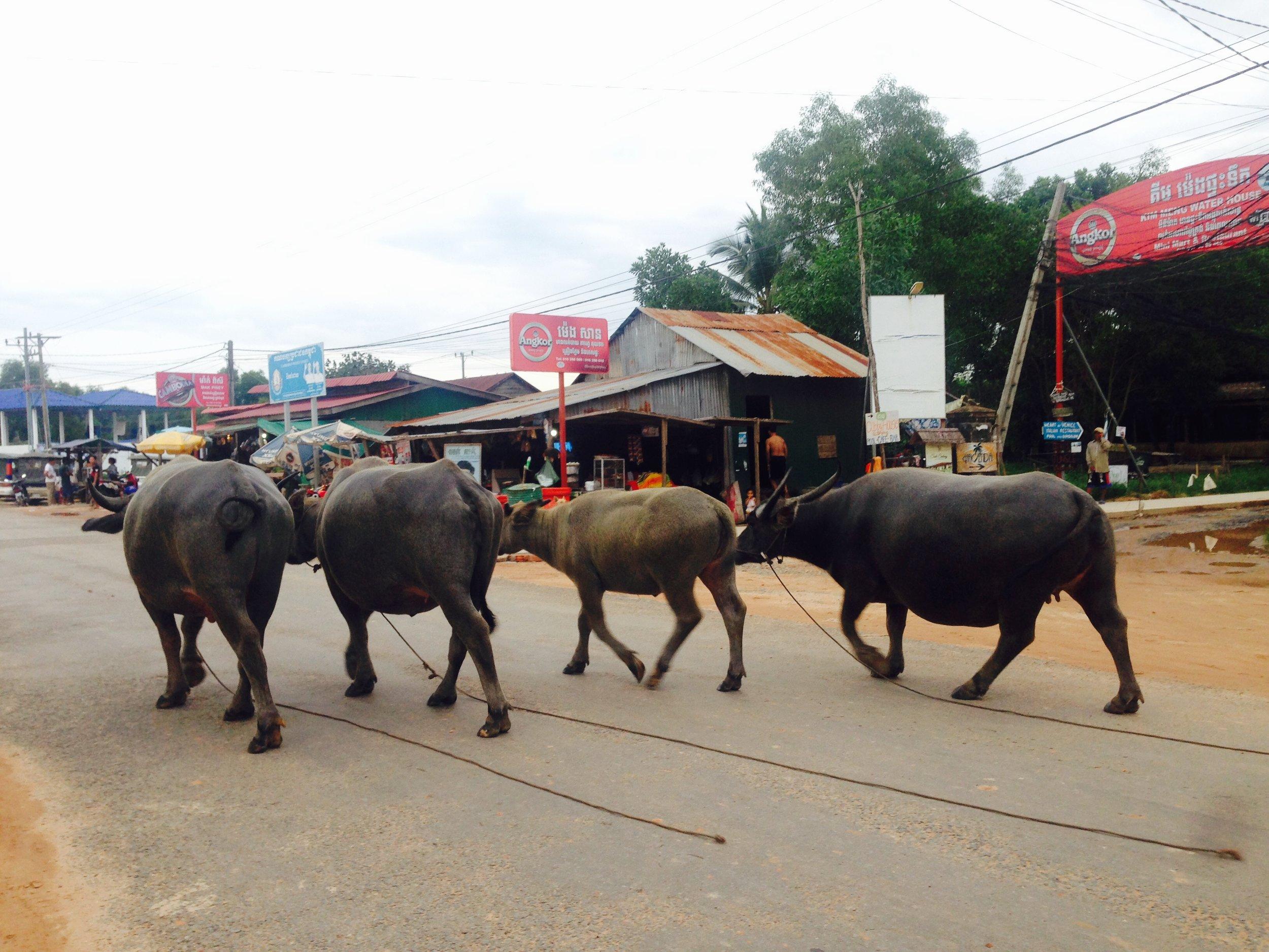 Water buffalo parading the Main Street running through Otres Village