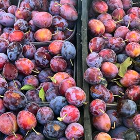 gubbio-plum.jpg